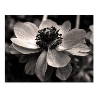 Anemon - blom- fotografi - vykort