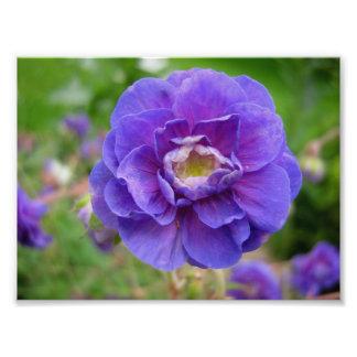 Anemonen lila blommar, tätt upp blomma, naturen fotografi