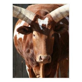 Ankole-Watusi råd med enorma Horns Vykort