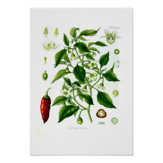 Annuum paprika poster