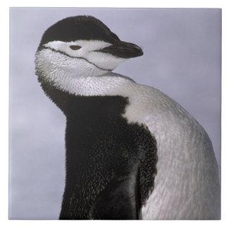 Antarktis. Chinstrap pingvin Kakelplatta