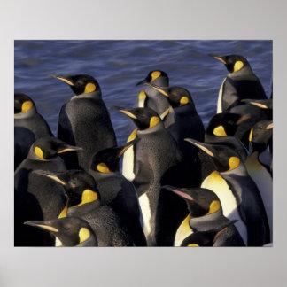 Antarktis södra Georgia ö. Kungpingvin 2 Poster
