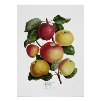 Äpplen Poster