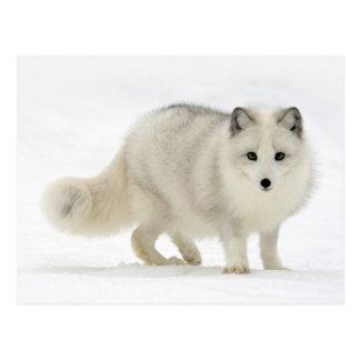 Arktisk räv vykort