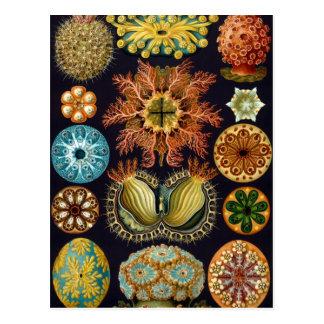 Ascidiae av Ernst Haeckel, vintageflottadjur Vykort