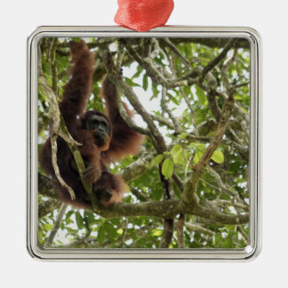 Asien Borneo, Malaysia, Sarawak, Orangutan Julgransprydnad Metall