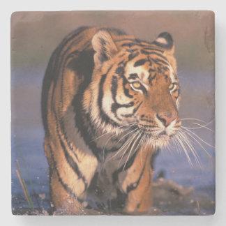 Asien, Indien, Bengal tigerPanthera tigris); Underlägg Sten