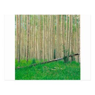 Asp- dunge Colorado för träd Vykort