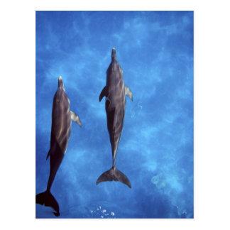 Atlantiska prickiga delfiner. Bimini Bahamas. 3 Vykort