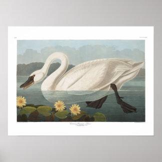 Audubon för vintageamerikansvan konst poster