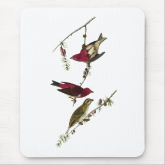 Audubon purpurfärgad Finch Musmatta