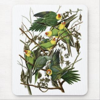 Audubons Carolina parakiter Musmatta