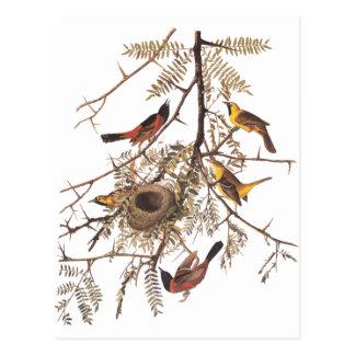 Audubons fruktträdgård Oriole i honunggräshoppa Vykort