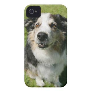 Australian shepherd som ler på kameran iPhone 4 cover