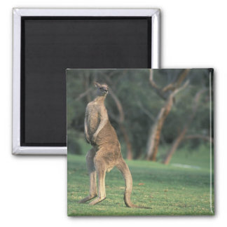 Australien Vic. Känguru på den Anglesea golfen Magnet