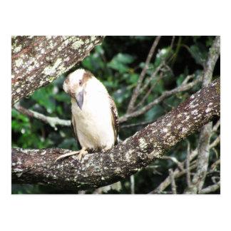 Australiensisk Kookaburra väntande mat Vykort