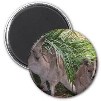 Australiensisk östlig grå färgkänguru magnet