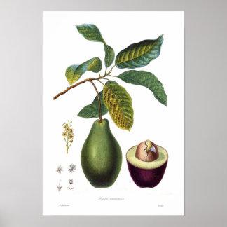Avokado (americana Persea) Poster