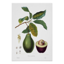 Avokado (americana Persea) Posters