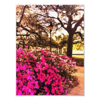 Azaleas i Forsyth parkerar Fotografiska Tryck
