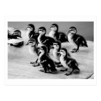 B&W-Ducklingsvykort Vykort
