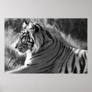 B&W-tigern profilerar fotoet Print