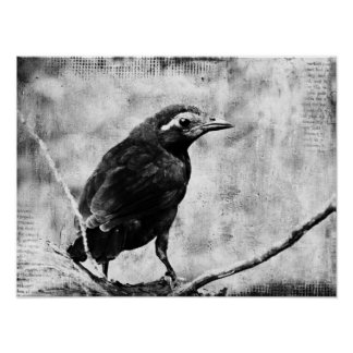Baby Grackle Poster