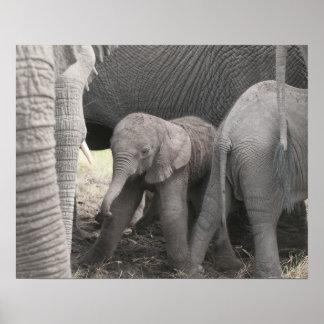 Babyelefanten är stå och ostadig poster