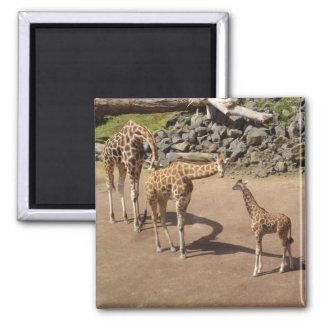 Babygiraff och girafffamilj magnet