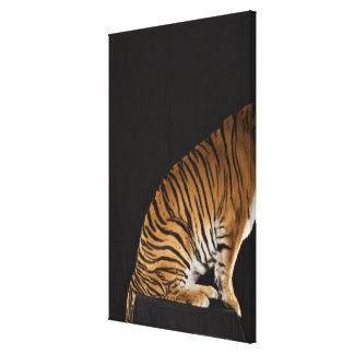Baksida avslutar av tigersitta på plattformen canvastryck