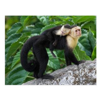 Bärande baby för vuxen Capuchinapa på dess baksida Vykort