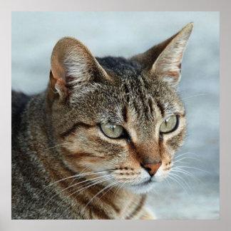 Bedöva tabby katt tätt upp porträtt poster