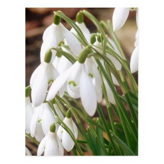 Bedöva våren Snowdrops Vykort