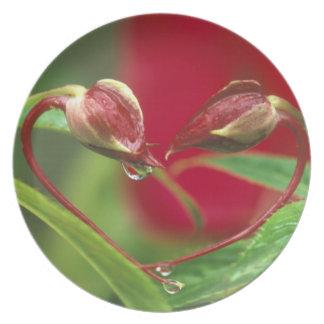Begoniaen som knoppar i hjärta formar med, tappar. tallrik