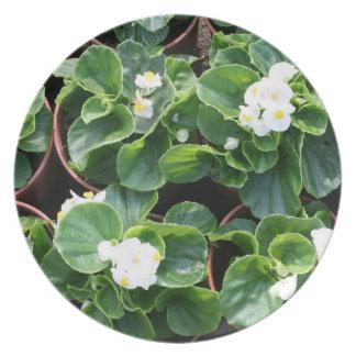 Begonias Tallrik