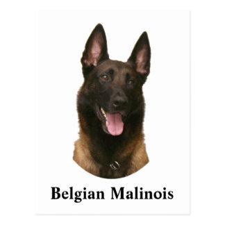 belgiska malinois vykort