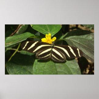 Belize fjäril poster