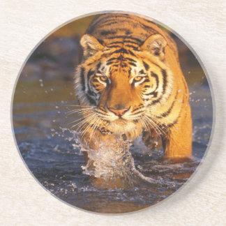 Bengal tiger i vatten underlägg sandsten