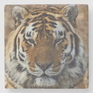 Bengal tiger, Panthera tigris, Louisville Zoo, Stenunderlägg