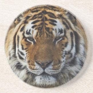 Bengal tiger, Panthera tigris, Louisville Zoo, Underlägg Sandsten