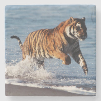 Bengal tiger (pantheraen Tigris) Underlägg Sten