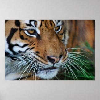 Bengal tiger tätt upp afrika poster