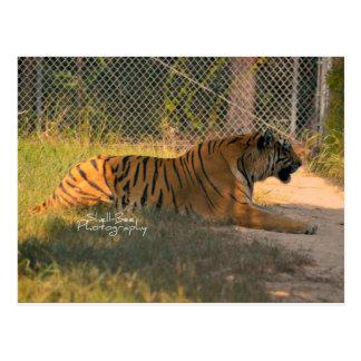 Bengal tigervykort vykort