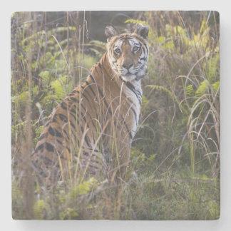 Bengal tigress i högväxt gräs som är pröva att stenunderlägg