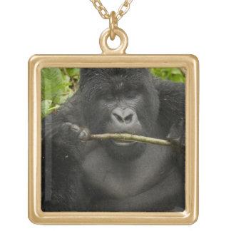 Berggorilla, genom att använda verktyg guldpläterat halsband