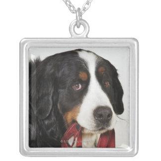Bernese berghund (Berner Sennenhund) med Silverpläterat Halsband