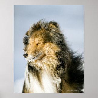 Beskåda av den shetland sheepdogen affischer