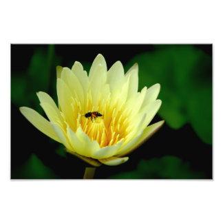 Bi och lotusblommablommar fototryck