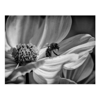 Bi på den Cosmo blomman - vykort
