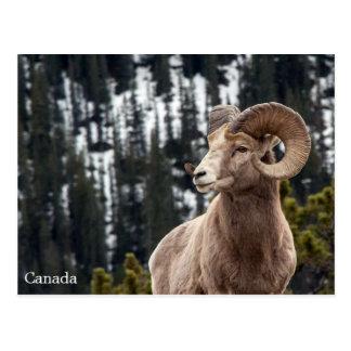 Bighorn får - Kanada Vykort